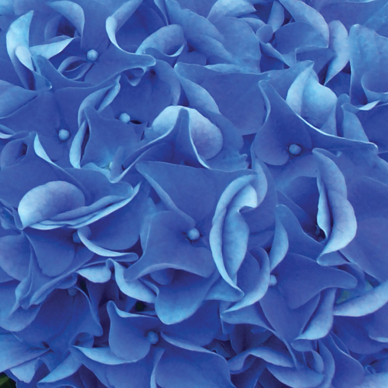 Hydrangea_earlyblue_categorypg_webready