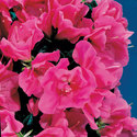 Thumb_azalea_remembrance_cu