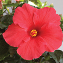 Thumb_hibiscus_antigua_wind_cu_thumb_webready