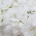 Thumb_hydrangea_firstwhite_cu_thumb_webready