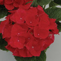 Thumb_hydrangea_hot-red_cu