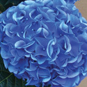 Thumb_hydrangea_earlyblue_cu_thumb_webready