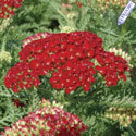 Thumb_achillea_pomegranate_cu_thumb