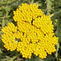 Thumb_achillea__coronation_gold_fp_thumb_webready