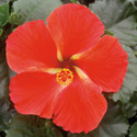 Thumb_hibiscus_starry-wind_cu_thumb_webready