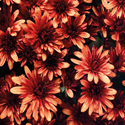 Thumb_gm_aduro_orange_gediflora_thumb.fp