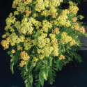 Thumb_achillea-milly-rock-yellow
